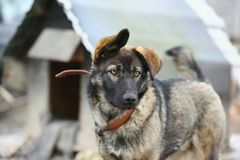 11/05/2013 Προσωπικό σκυλί σε ένα λουρί, ενάντια στο σκηνικό ενός σπιτιού σκυλιών Στοκ Φωτογραφία