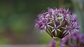 Προϊστάμενος λουλουδιών Allium πορφυρό Allium αίσθησης aflatunense στο θερινό κήπο στοκ εικόνες