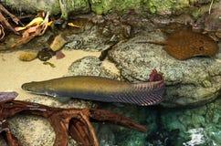 Προϊστορικά ψάρια Arapaima Στοκ φωτογραφία με δικαίωμα ελεύθερης χρήσης