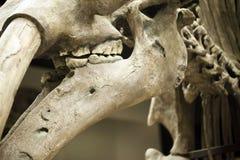 Προϊστορικός δεινόσαυρος Fossile Στοκ εικόνα με δικαίωμα ελεύθερης χρήσης