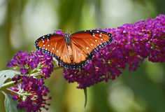 Πρωί βασίλισσα Butterfly Στοκ φωτογραφία με δικαίωμα ελεύθερης χρήσης