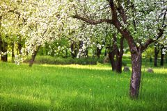 Πρωί κήπων της Apple την άνοιξη Στοκ φωτογραφία με δικαίωμα ελεύθερης χρήσης
