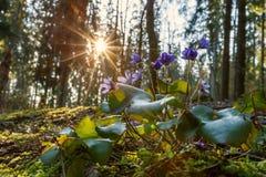Πρωί σε ένα δάσος άνοιξη Στοκ Εικόνα