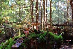 Πρωί στους δασικούς μύκητες της οικογένειας Στοκ Εικόνες