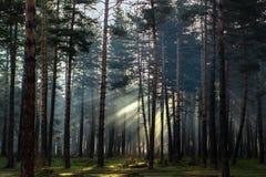 Πρωί στο δάσος πεύκων Στοκ Φωτογραφίες