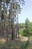 Πρωί στο ξύλο πεύκων το καλοκαίρι Στοκ φωτογραφία με δικαίωμα ελεύθερης χρήσης