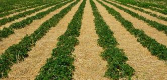 Πρωί στο όμορφο αγρόκτημα φραουλών στοκ φωτογραφία με δικαίωμα ελεύθερης χρήσης