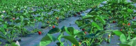 Πρωί στο όμορφο αγρόκτημα φραουλών Στοκ Εικόνα