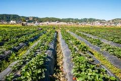 Πρωί στο όμορφο αγρόκτημα φραουλών Στοκ εικόνες με δικαίωμα ελεύθερης χρήσης