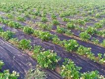 Πρωί στο όμορφο αγρόκτημα φραουλών Στοκ Φωτογραφίες