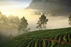 Πρωί της Misty στον κήπο φραουλών στο ANG Khang Chiang Mai Ταϊλάνδη Doi στοκ εικόνες