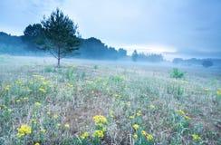 Πρωί της Misty στο λιβάδι με arnica τα λουλούδια Στοκ Εικόνες