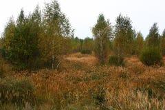 Πρωί φθινοπώρου Σημύδες και μια ξηρά χλόη Στοκ φωτογραφία με δικαίωμα ελεύθερης χρήσης