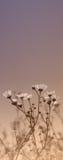 Πρωί chamomiles στοκ φωτογραφία
