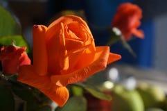 Πρωί roses7 Στοκ φωτογραφία με δικαίωμα ελεύθερης χρήσης