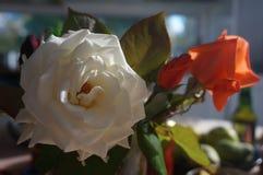 Πρωί roses4 Στοκ εικόνες με δικαίωμα ελεύθερης χρήσης