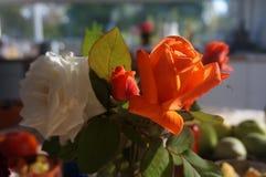 Πρωί roses5 Στοκ φωτογραφίες με δικαίωμα ελεύθερης χρήσης