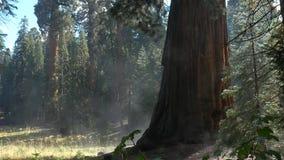 Πρωί Sequoia στο εθνικό πάρκο, η δροσιά εξατμίζει στον ήλιο, 4K φιλμ μικρού μήκους