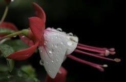 Πρωί wather σε ένα όμορφο λουλούδι Στοκ Εικόνες