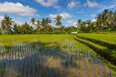 Πρωινό τοπίο των τομέων ρυζιού σε Ubud, Μπαλί Στοκ Εικόνα
