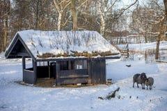 Πρόβατα έξω στο χιόνι Στοκ εικόνες με δικαίωμα ελεύθερης χρήσης