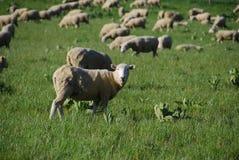 πρόβατα αγροκτημάτων Στοκ Φωτογραφίες