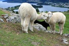 πρόβατα αγροκτημάτων Στοκ εικόνα με δικαίωμα ελεύθερης χρήσης