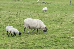 Πρόβατα, αγροτικό αρνί στοκ φωτογραφίες με δικαίωμα ελεύθερης χρήσης