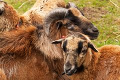Πρόβατα αναπαραγωγής στο αγρόκτημα Πρόβατα του Καμερούν στο λιβάδι Στοκ Φωτογραφίες