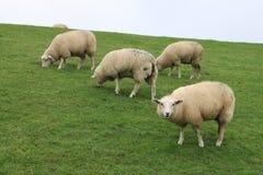 Πρόβατα αναχωμάτων Στοκ Εικόνες