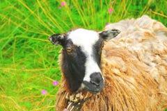 πρόβατα ανόητα Στοκ Εικόνες