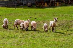 Πρόβατα από κοινού Στοκ Εικόνες