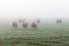 Πρόβατα από την ομίχλη Στοκ φωτογραφίες με δικαίωμα ελεύθερης χρήσης