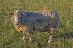 Πρόβατα από την πλευρά σε ένα λιβάδι Στοκ εικόνες με δικαίωμα ελεύθερης χρήσης