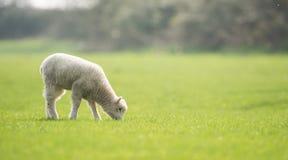 Πρόβατα, αρνί, κριός, Ovis aries Στοκ φωτογραφίες με δικαίωμα ελεύθερης χρήσης