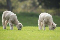 Πρόβατα, αρνί, κριός, Ovis aries Στοκ Εικόνες