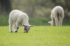 Πρόβατα, αρνί, κριός, Ovis aries Στοκ Φωτογραφίες
