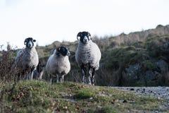 Πρόβατα, αρνί, κριός, Ovis aries Στοκ φωτογραφία με δικαίωμα ελεύθερης χρήσης