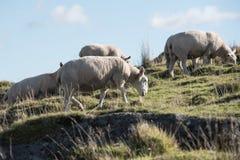 Πρόβατα, αρνί, κριός, Ovis aries Στοκ εικόνα με δικαίωμα ελεύθερης χρήσης