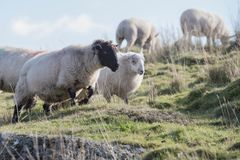 Πρόβατα, αρνί, κριός, Ovis aries Στοκ εικόνες με δικαίωμα ελεύθερης χρήσης