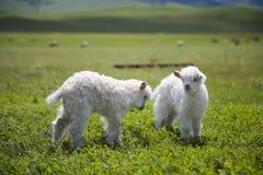 Πρόβατα αρνιών αρνιών κριού Στοκ φωτογραφίες με δικαίωμα ελεύθερης χρήσης