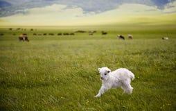 Πρόβατα αρνιών αρνιών κριού Στοκ Εικόνα