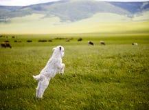 Πρόβατα αρνιών αρνιών κριού Στοκ φωτογραφία με δικαίωμα ελεύθερης χρήσης
