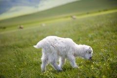 Πρόβατα αρνιών αρνιών κριού Στοκ Εικόνες