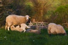 Πρόβατα αρνιών θηλαζόντων νεογνών Στοκ εικόνες με δικαίωμα ελεύθερης χρήσης