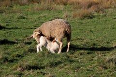 Πρόβατα αρνιών θηλαζόντων νεογνών Στοκ Εικόνα