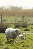 Πρόβατα αρνιών και μητέρων Στοκ φωτογραφίες με δικαίωμα ελεύθερης χρήσης