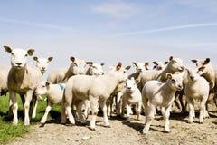 πρόβατα αρνιών ομάδας Στοκ εικόνες με δικαίωμα ελεύθερης χρήσης