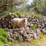 Πρόβατα αρνιών στο μεσογειακό τοπίο σε Menorca Στοκ εικόνα με δικαίωμα ελεύθερης χρήσης