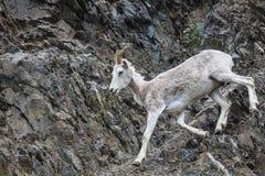 Πρόβατα Αλάσκα Dall Στοκ εικόνα με δικαίωμα ελεύθερης χρήσης